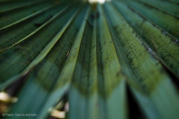 Palm, Palma