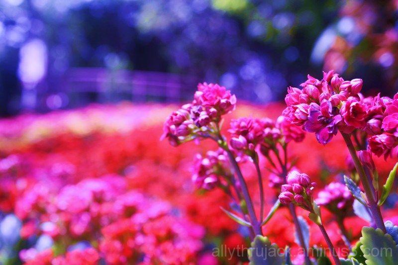 red flower, purple hue, garden, flower festival