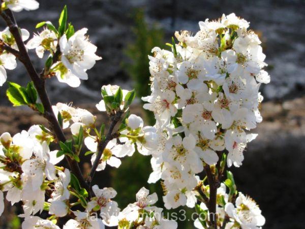 cherry bloom tree