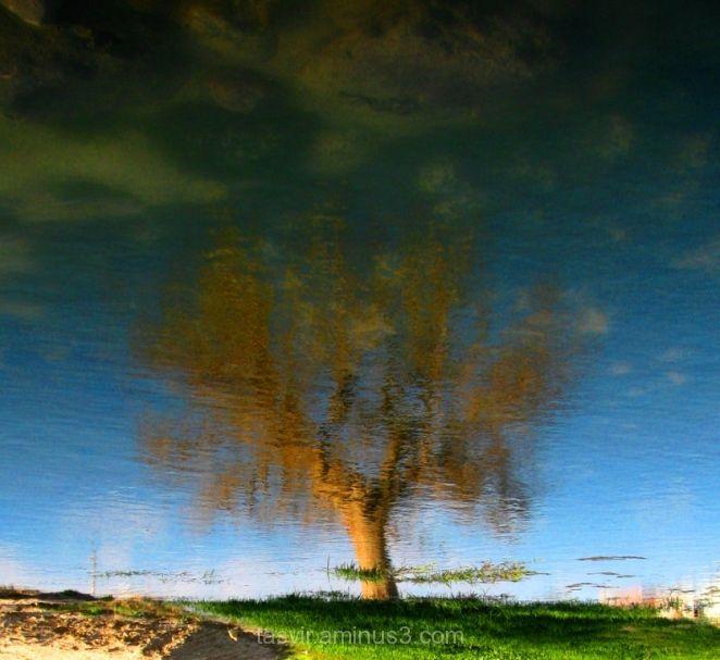 درخت تصویر برکه بازتاب