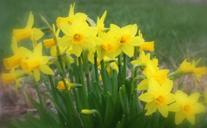 A Chorus Line of Daffodils