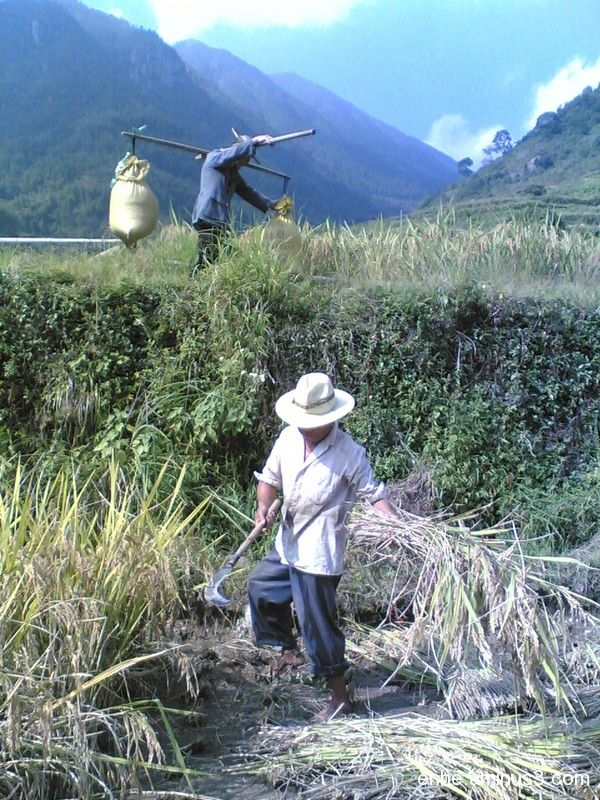 wenxi enhe photoblog 温溪 收获 Harvest rice 水稻 china