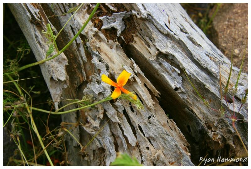 Flower on Picacho Peak in Arizona.