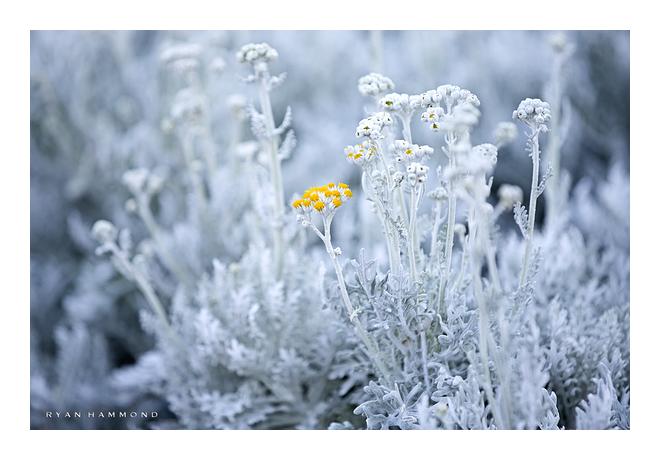 Pale blue desert plant