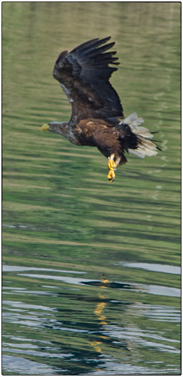 Sea Eagle #3