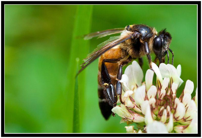 A Bee enjoying its Lunch