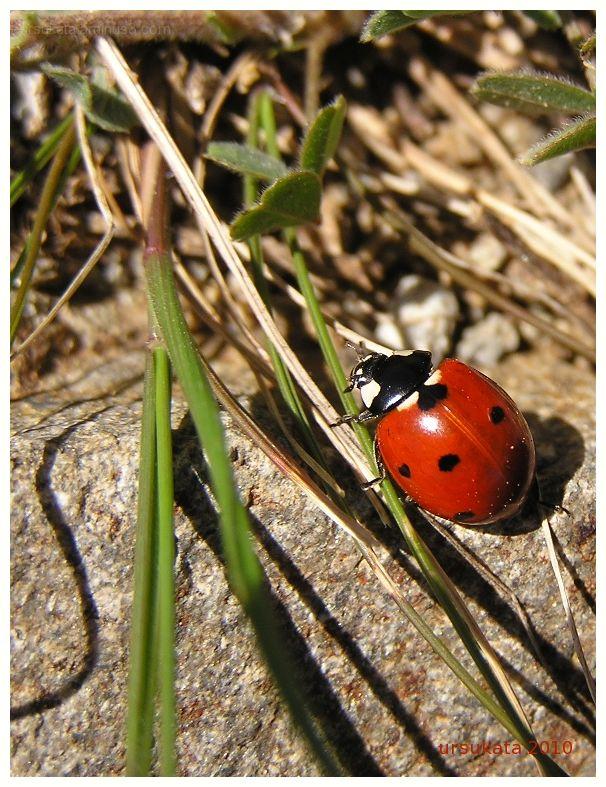 ladybird by ursukata
