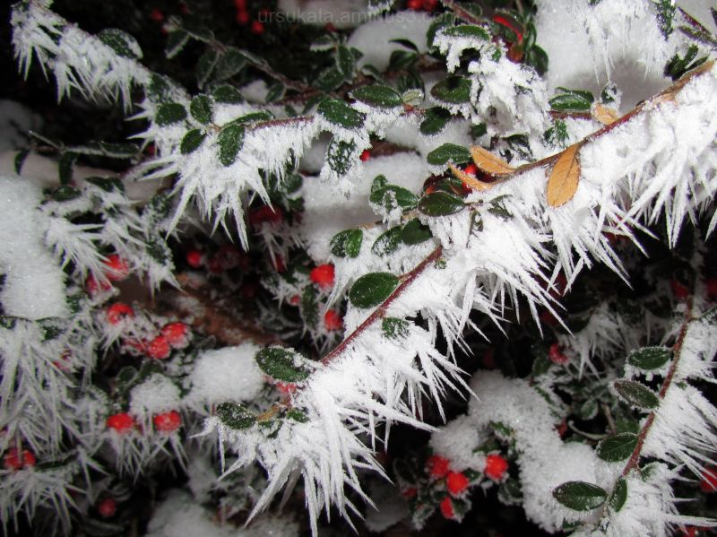 Frosted berries