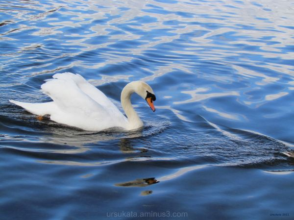 swan at murdieston dam