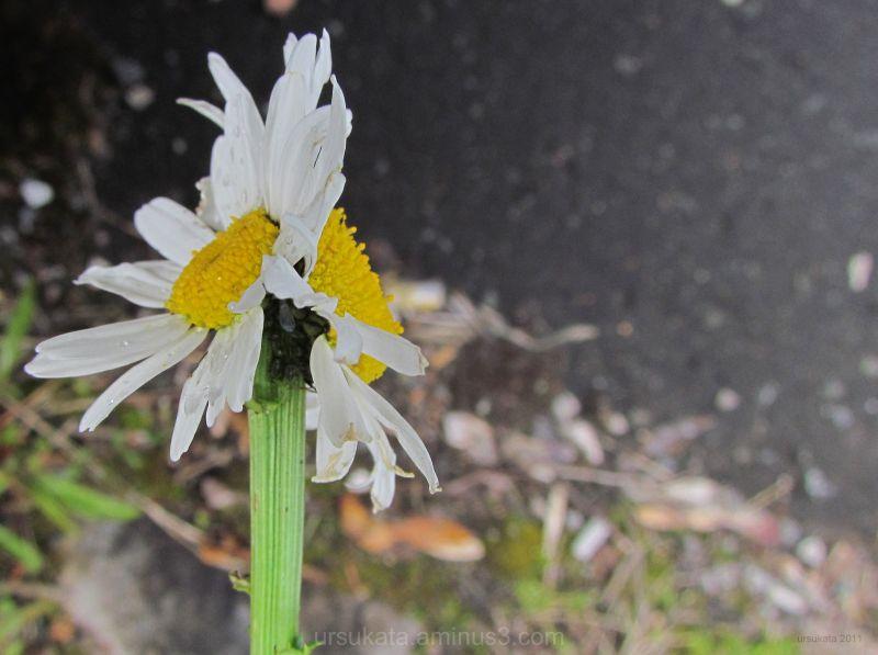 oddly formed daisy
