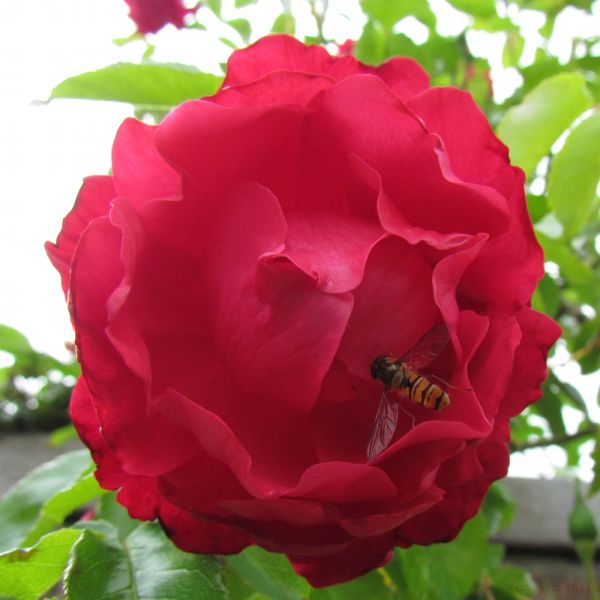 Hoverfly on a rose