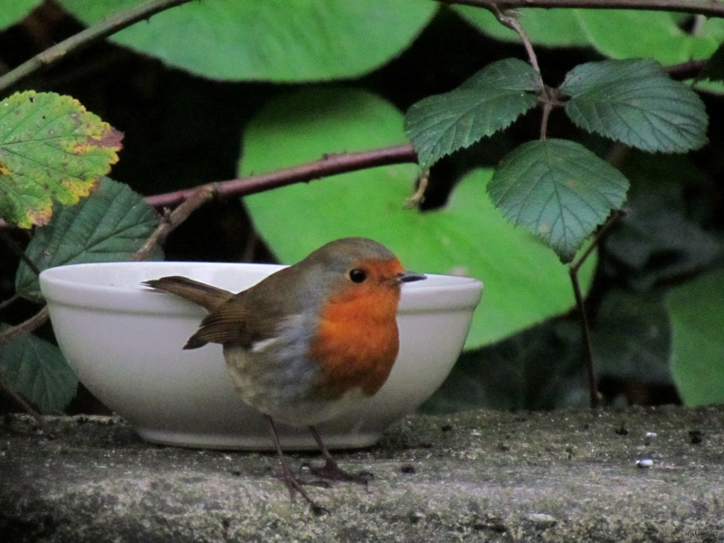 A Robin and A Bowl