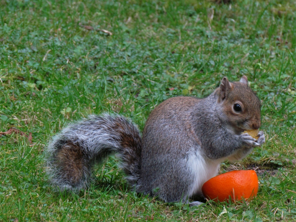 Squirrel and an orange