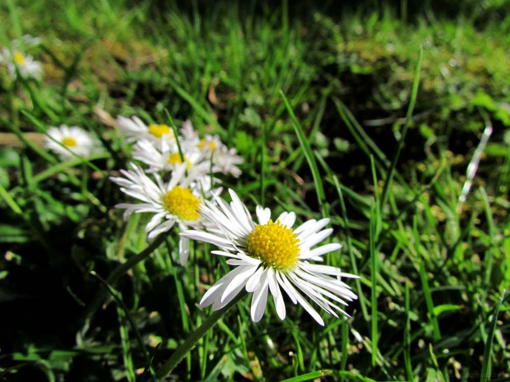 Daisies in the garden