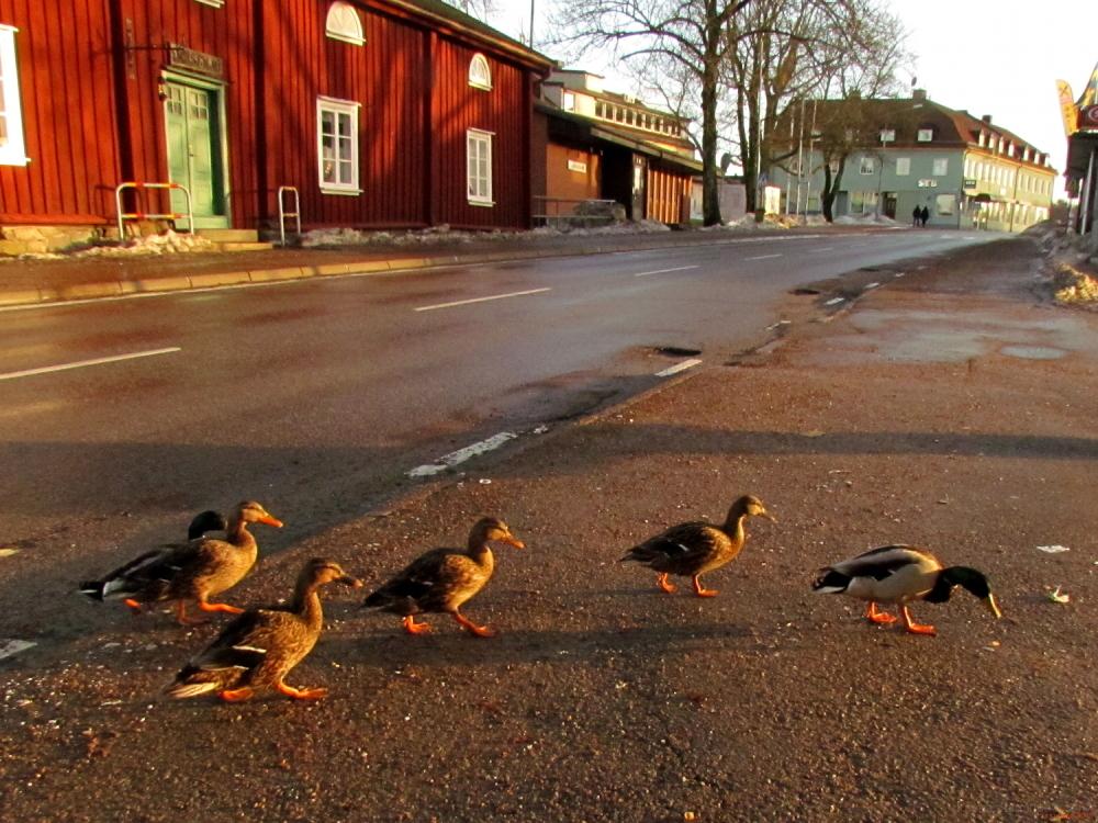 Mallards in town