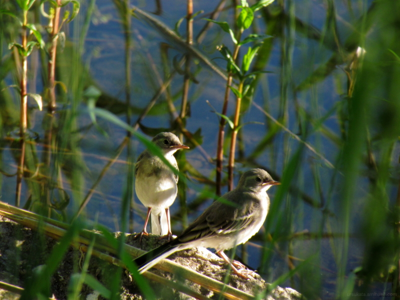 White wagtail babies
