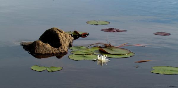 Summer on a pond