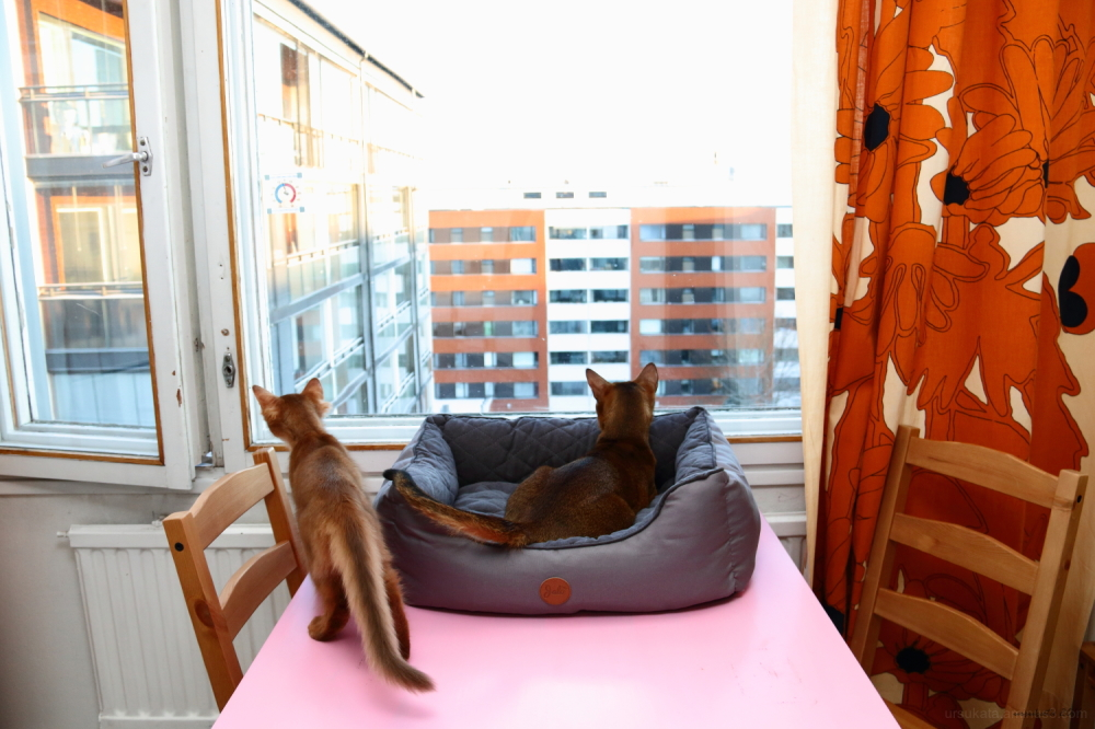 somali kitten and abyssinian cat