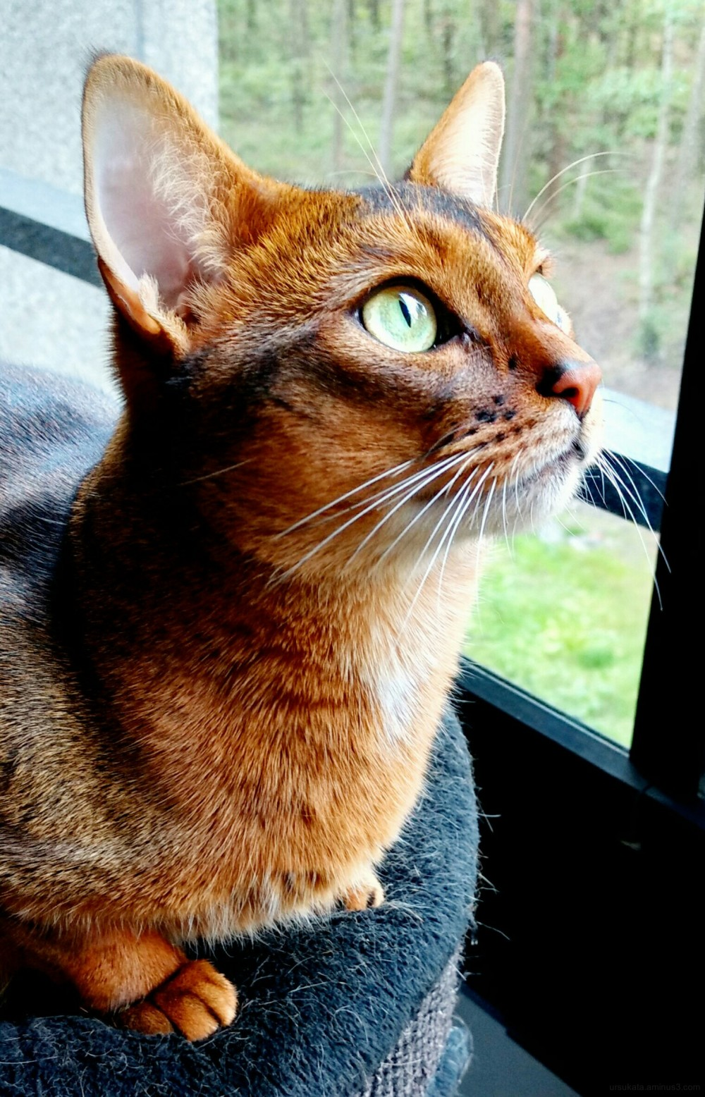 somali abyssinian cat 365 plus 1 days of their liv