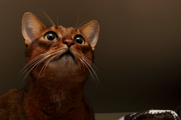 somali-cat abyssinian-cat