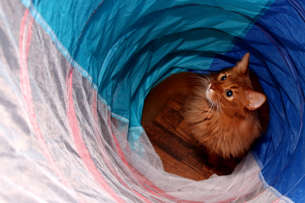 somali-cat abyssinian-cat 365+1daysoftheirlives