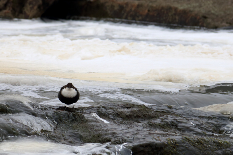 White throated dipper halinen