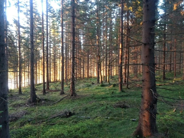 Evening sun in the forest