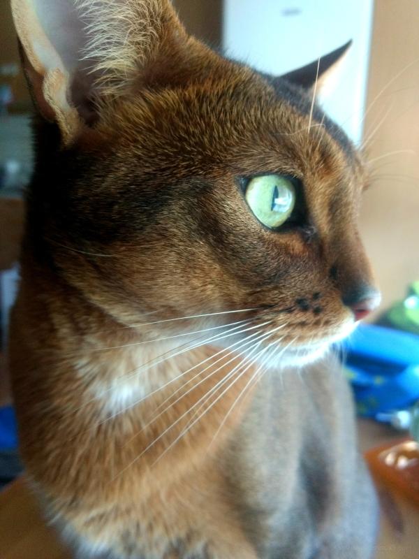 Ruddy abyssinian cat