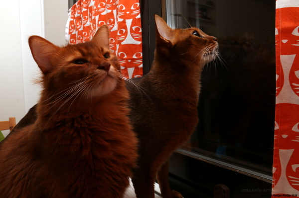 somalicat and abyssinian cat