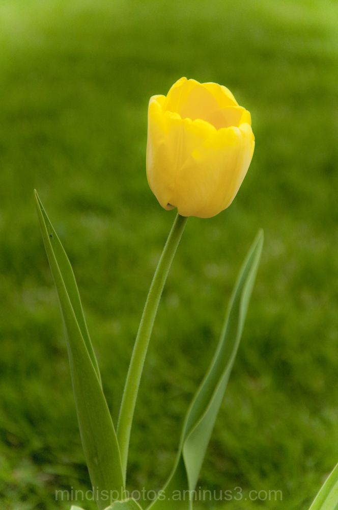 Lonely Yellow Tulip