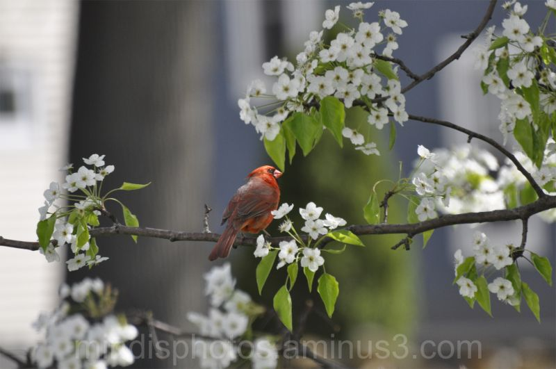 Cardinal in my tree