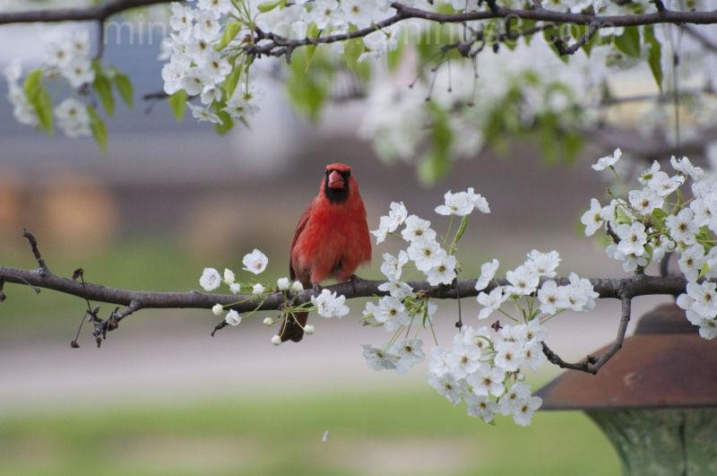 Bad Cardinal!