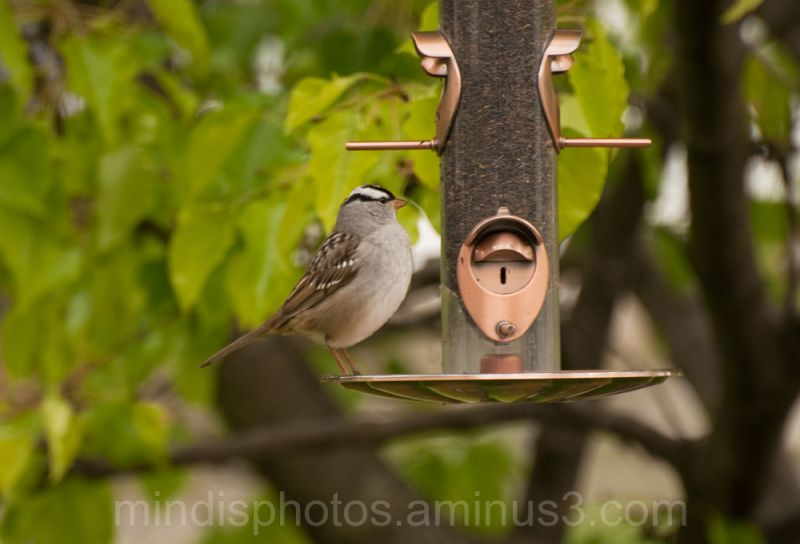 white-crowned sparrow bird animal