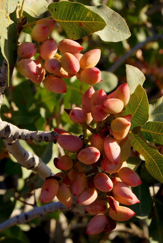 Pistachio tree