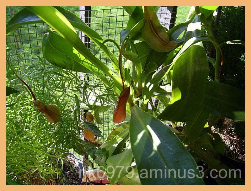 My carnivorous plant