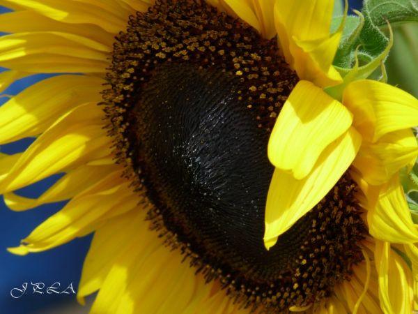 Au cœur des tournesols #4