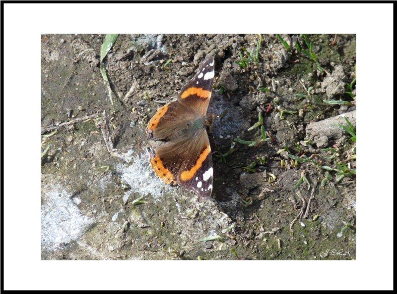 Premier papillon 2012