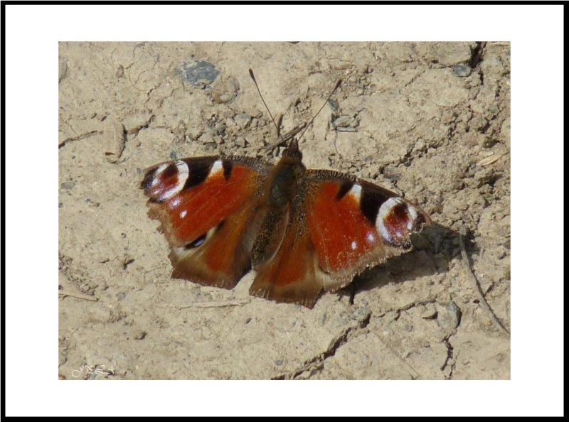 Papillon 2012 #3
