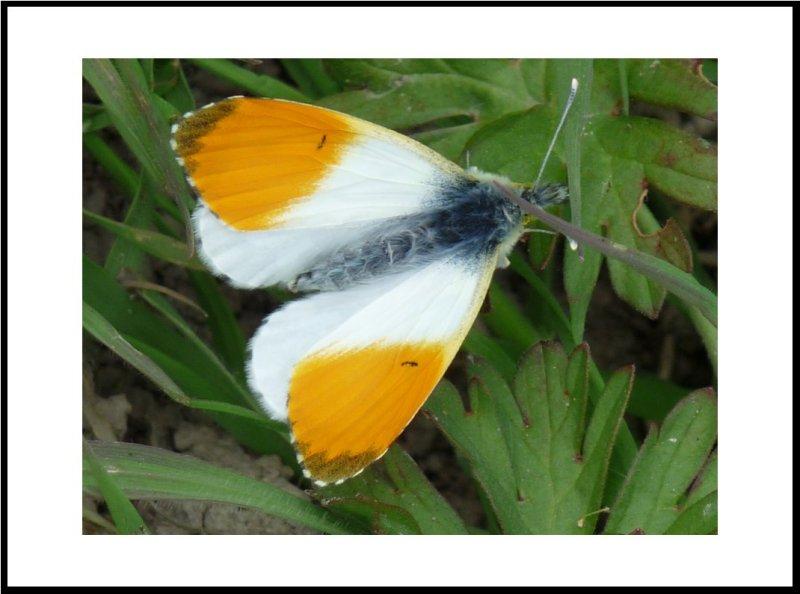 Papillon 2012 #4