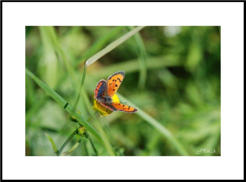 Papillon 2012 #5
