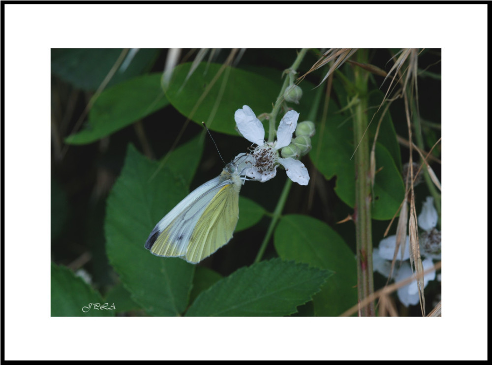 Papillon 2012 #8