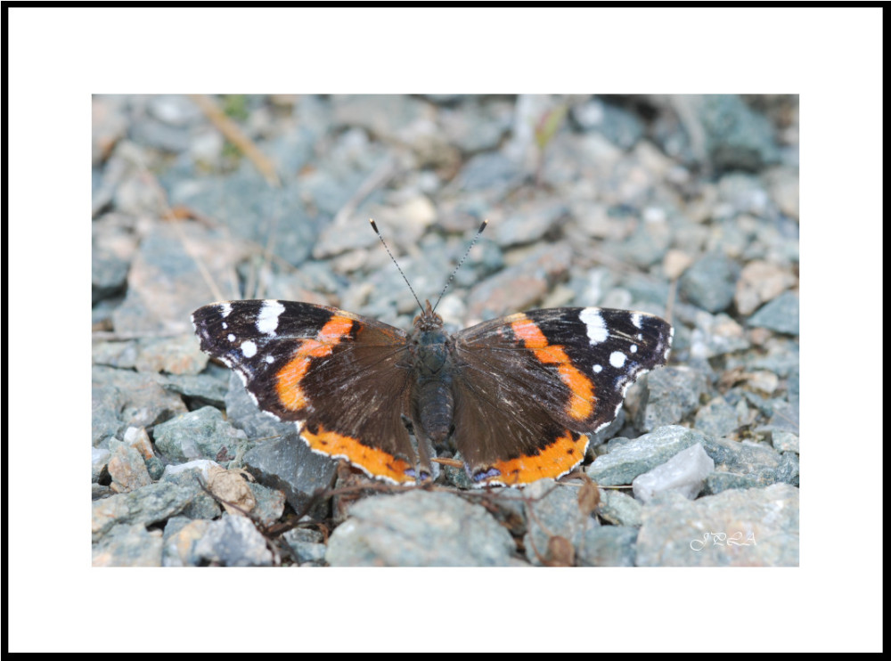 Papillon 2012 #11