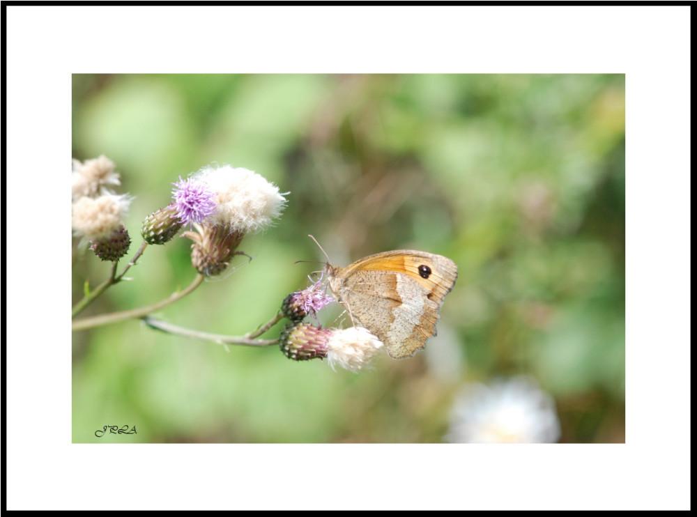 Papillon 2012 #14