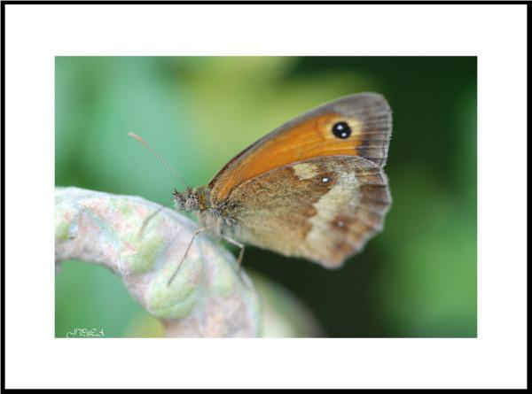 Papillon 2012 #16