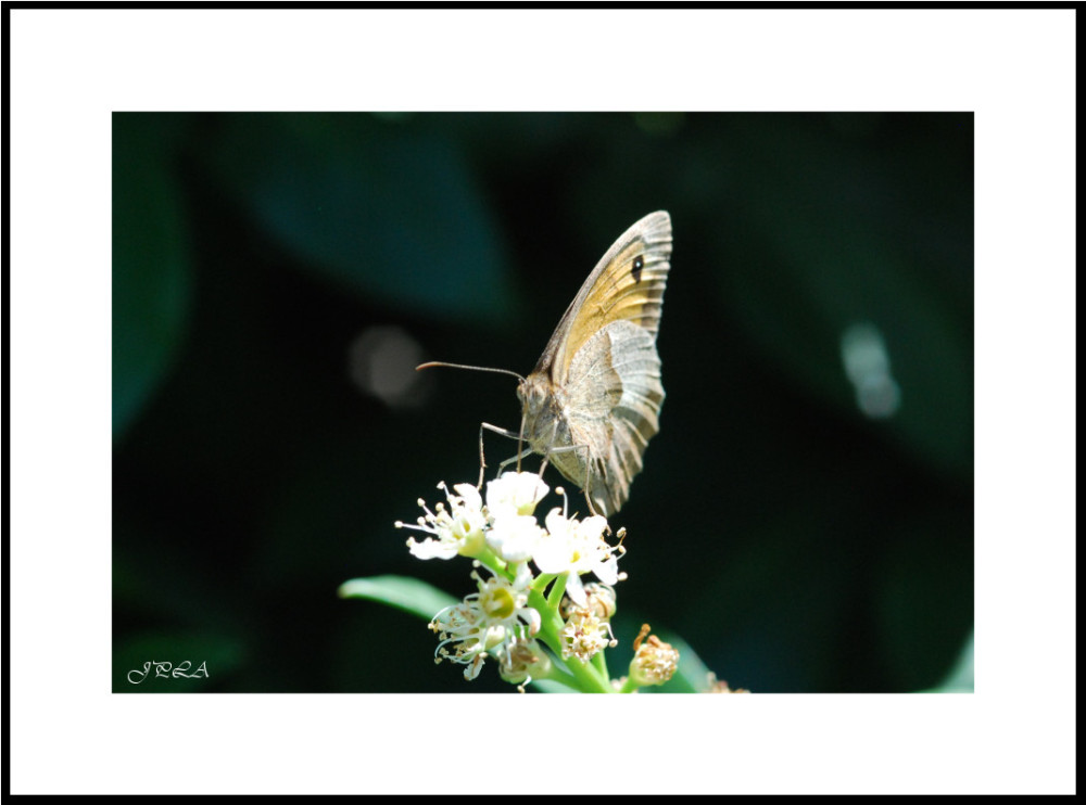 Papillon 2012 #18