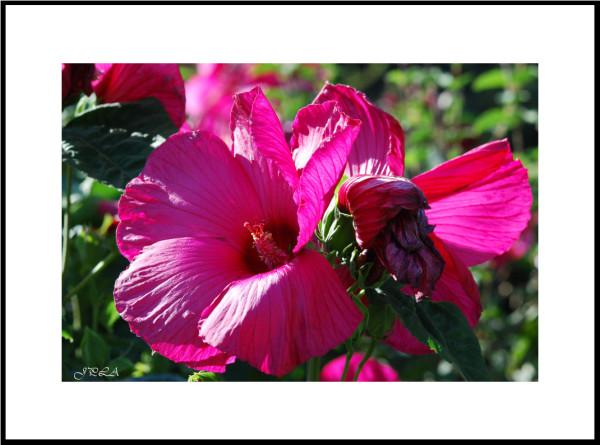 Hibiscus taille XXL (ou un cousin : plus de 20 cm
