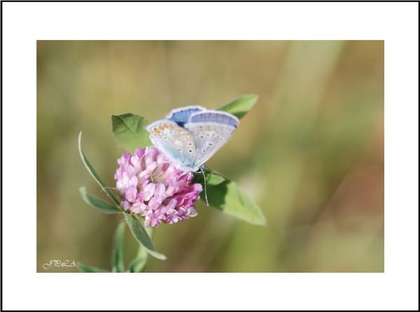 Papillon 2013 #2