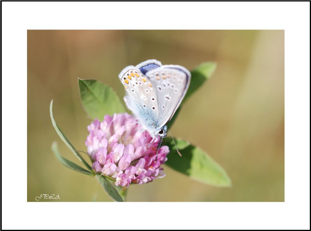 Papillon 2013 #3