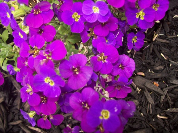 purpie flowers