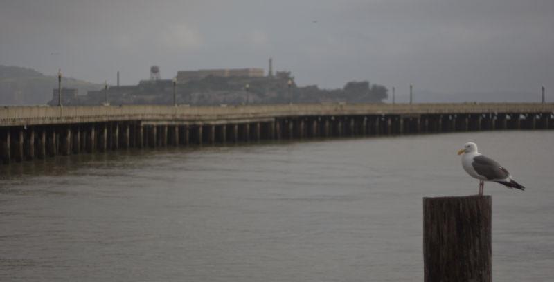 Seagull near the municipal pier and Alcatraz